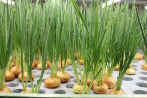 Методы выращивания лука
